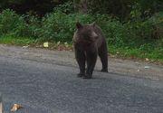 Apeluri la 112 privind prezenta unei ursoaice cu trei pui pe Calea Bucuresti din Brasov