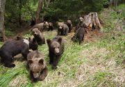 """Unsprezece ursi, alungati de pe strazile unui oras din Romania intr-o singura zi: """"Eu nu am mai vazut asa ceva. A facut prapad"""""""