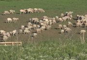 Scutul anti-racheta, bruiat de oile unui cioban din Deveselu! Mioarele dau peste cap senzorii americanilor