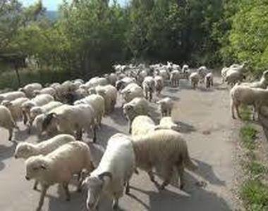 Accident in Timis: O soferita a intrat cu masina intr-o turma de oi. Ciobanul a fost ranit