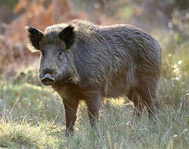 Porc mistret radioactiv identificat in judetul Suceava, la 10 km de frontiera cu Ucraina