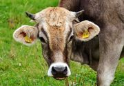16 angajati ai unei ferme din Iasi au ajuns la spital dupa ce au taiat o vaca bolnava de rabie