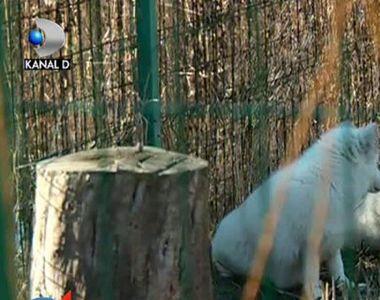 Doua vulpi polare albe au ajuns la Constanta