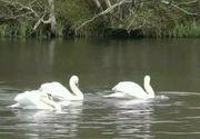 Incredibil! A ajuns sa se faca braconaj cu oua de lebede si pelicani!