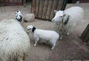 Doi romani au furat o capra si o oaie de la Gradina Zoologica din Berlin si le-au mancat! Nemtii sunt socati