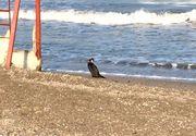 Pasarile de pe litoral au fost afectate de gerul din ultimele zile! Imagini dramatice cu un cormoran obosit!