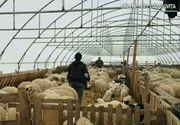 Un agricultor din Dambovita a venit cu o idee inedita! In loc de legume, barbatul creste in solar...oi!