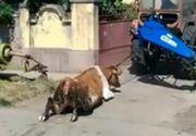 Dosar penal pentru ranirea si schingiuirea animalelor, dupa ce un barbat din Timis a legat o vaca de un tractor si a tarat-o pe sosea