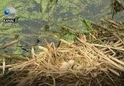 Pasarile care au supravietuit dezastrului ecologic din parcul Bordei sunt sanatoase, ne asigura cei din administratia locala!
