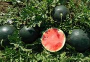 Pepenele de Dabuleni a ajuns sa coste mai putin decat o chifla! Agricultorii sunt disperati!
