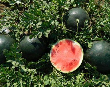 Pepenele de Dabuleni a ajuns sa coste mai putin decat o chifla! Agricultorii sunt...