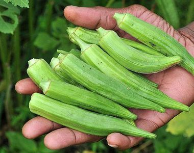 Bamele revin la moda! Tot mai multi agricultori din Romania au inceput sa cultive...