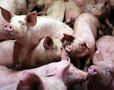 Inca un judet din Romania este amenintat de pesta porcina africana. Autoritatile au...