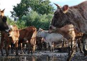 Revoltator! Primarul din Paradina, Tulcea tine 100 de vite fara apa si fara mancare de 5 zile, intr-un tarc foarte mic. Motivul este halucinant