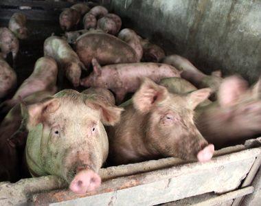 Pesta porcina face ravagii in Romania! Peste un milion de porci vor fi eutanasiati
