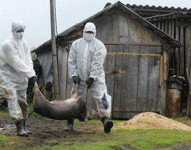 Isteria pestei porcine se extinde! Un nou focar confirmat in judetul Braila