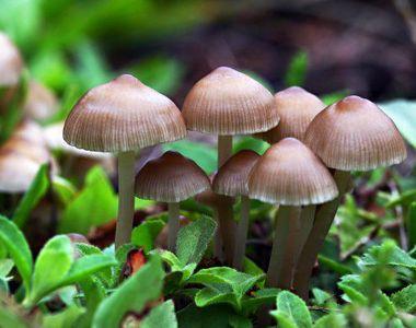 Alerta in padurile din Maramures dupa ce hribii sanatosi au fost otraviti de ciupercile...