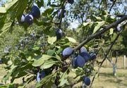 Semne bune anul are! Ploile dese si lipsa secetei au complotat pentru o recolta bogata de prune