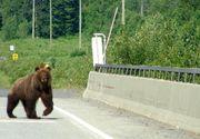 Incepe goana ursilor de langa autostrada! Autoritatile sunt in alerta