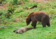 Teroare in Miercurea Ciuc! Un urs a luat o capra din curtea unui localnic, dupa care a fugit in oras