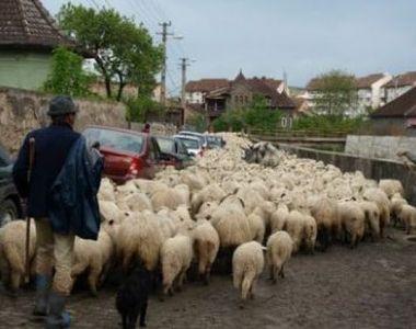 Ciuma oilor din Bulgaria, doar o inventie pentru a masca fraude din fonduri europene?...