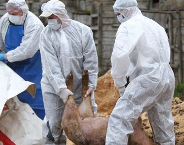 """Presedinte ANSVSA: 781 de focare de pesta porcina, in zece judete: """"Este cea mai..."""
