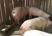 De disperati sa nu-si piarda porcii din cauza virusului pestei porcine, oamenii ii taie si ii transforma in jumari
