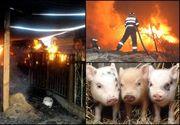 Incendiu grav la ferma de la Tichilesti, unde s-a depistat focar de pesta porcina. 1.600 de porci au murit