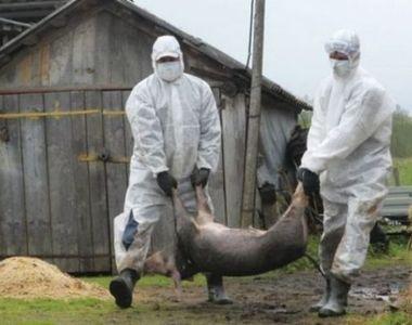 Bomba! SRI-ul ar fi stiut de amenintarea virusului pestei porcine inca din 2016!