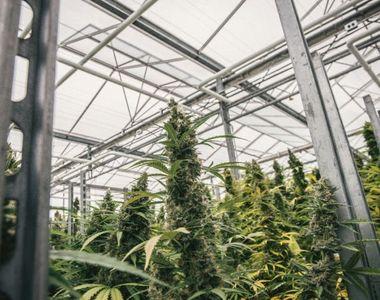 Lituania a legalizat utilizarea canabisului medicinal