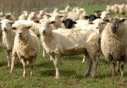Românii nu ştiu să profite de lâna românească! Ciobanii preferă să arunce materia primă la gunoi, decât să aştepte subvenţia infimă de la stat