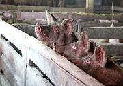 Speranţa a renăscut în zonele lovite de pesta porcină africană. Primii porci santinelă au fost lăsaţi în mai multe gospodării
