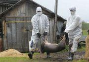 Pesta porcină se extinde! Un nou focar a fost depistat în judeţul Vrancea