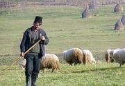 După pesta porcină, ne paşte scrapia! Ce este boala fără leac ce ameninţă turmele de oi!