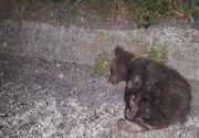 Trei ursi, loviti de masini in mai putin de o ora în Sibiu! Reacţia halucinantă a autorităţilor