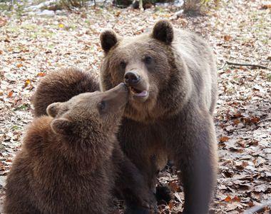 Grigore şi-a donat ziua de naştere urşilor de la Zărneşti, pentru care a strâns 3000 de...