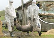 Virusul pestei porcine africane a fost confirmat în Olt, al optsprezecelea judeţ în care a fost semnalată boala