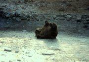 """Cele mai frumoase imagini ale iernii! """"Dacă nu hibernează, urşii se tăvălesc prin zăpadă! Şi dacă mai au şi partener de joacă, totul se transformă într-o veritabilă bulgăreală!"""" FOTO"""