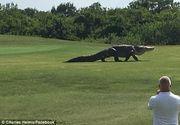 Un crocodil gigant a aparut pe un teren de golf din Florida