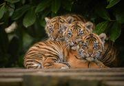 Cutremurator. Autoritatile au descoperit 40 de pui de tigri morti in celebrul Templu al tigrilor din Thailanda. Ce explicatii au dat membrii sanctuarului