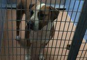 Orasul Montreal va interzice cainii pitbull si alte rase periculoase