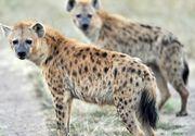 """Un baiat de 15 ani a avut muscat de fata de o hiena in timp ce dormea intr-un cort. """"Oasele lui au fost strivite ca o punga de chipsuri"""", povesteste oripilat bunicul tanarului"""