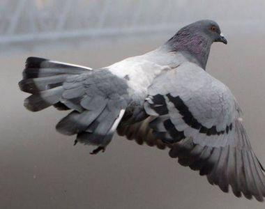 Poliţia indiană a arestat un porumbel suspectat de spionaj