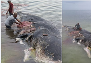 O balenă uriaşă, găsită moartă în largul coastelor Indoneziei. Avea în stomac peste 115 pahare de plastic şi 25 de pungi!