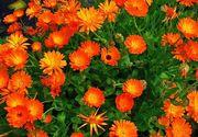 Trei flori comestibile cu beneficii nebanuite!