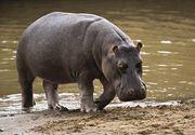 Hipopotamii adusi ilegal de Pablo Escobar in Columbia s-au inmultit in salbaticie si fac probleme mari! Autoritatile vor sa ii castereze