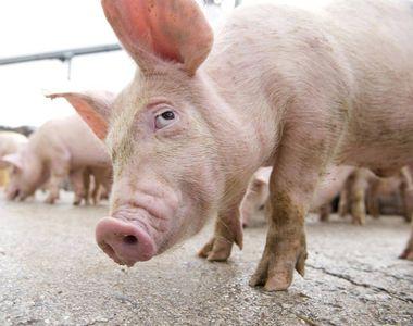 Oamenii de stiinta socheaza cu un nou proiect: cresterea de organe umane in porci....