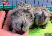 Noul trend in materie de animale de companie: maimuta marmoset. Este atat de mica incat iti sta in palma