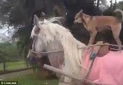 """O inregistrare cu un caine face deliciul internautilor. Patrupedul sta pe spatele unui cal care trage la caruta. Cainele """"acrobat"""" pare sa se bucure din plin de plimbare"""
