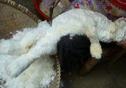 Imagini socante in fermele de iepuri din Franta. Iepurasii sunt jupuiti de vii pentru blanita lor moale si pufoasa, transformata apoi in lana de Angora